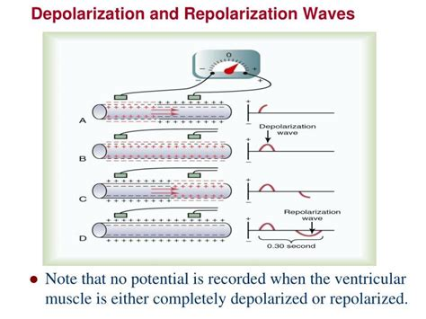 PPT - Fast Response Action Potential of Contractile