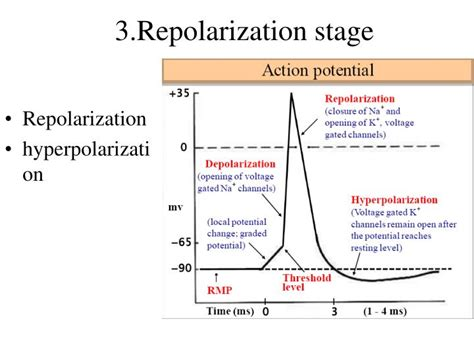 PPT - Membrane potential PowerPoint Presentation - ID:3363450