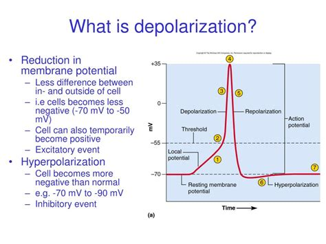 PPT - Nerve physiology PowerPoint Presentation - ID:29865